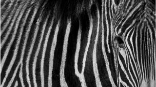 zebra strichcode